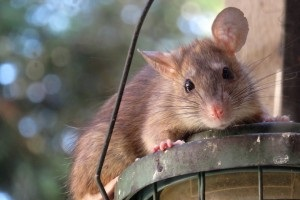 Rat extermination, Pest Control in Dulwich, SE21. Call Now 020 8166 9746