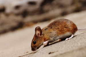 Mouse extermination, Pest Control in Dulwich, SE21. Call Now 020 8166 9746